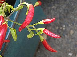 Thai Super Chili Pepper (Capsicum annuum 'Thai Super Chili') at Roger's Gardens