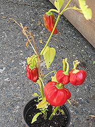 Pepperoncini (Capsicum annuum 'Pepperoncini') at Roger's Gardens