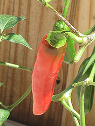 Serrano Hot Pepper (Capsicum annuum 'Serrano') at Roger's Gardens