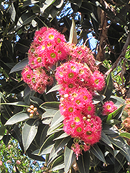 Red-flowering Gum (Corymbia ficifolia) at Roger's Gardens