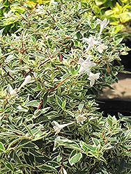 Confetti Glossy Abelia (Abelia x grandiflora 'Confetti') at Roger's Gardens