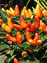 Karneval Deep Orange Ornamental Pepper (Capsicum annuum 'Karneval Deep Orange') at Roger's Gardens