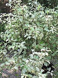 Irene Patterson Kohuhu (Pittosporum tenuifolium 'Irene Patterson') at Roger's Gardens