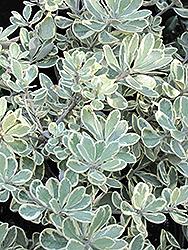 Variegated Pittosporum (Pittosporum crassifolium 'Variegatum') at Roger's Gardens