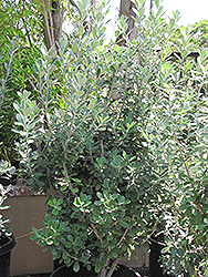 Karo Pittosporum (Pittosporum crassifolium) at Roger's Gardens
