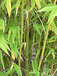 Golden Goddess Bamboo (Bambusa multiplex 'Golden Goddess') at Roger's Gardens