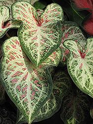 Candyland Caladium (Caladium 'Candyland') at Roger's Gardens