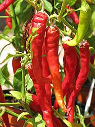Long Red Slim Hot Pepper (Capsicum annuum 'Long Red Slim') at Roger's Gardens