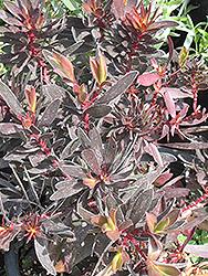 Ebony Conebush (Leucadendron 'Ebony') at Roger's Gardens
