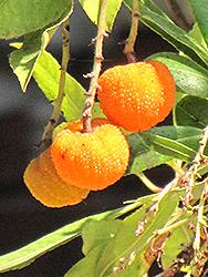 Marina Strawberry Tree (Arbutus 'Marina') at Roger's Gardens