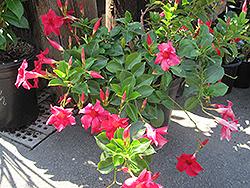 Summer Bell Velvet Red Mandevilla (Mandevilla 'Summer Bell Velvet Red') at Roger's Gardens