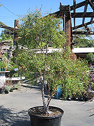 Lemon Scented Tea-Tree (Leptospermum petersonii) at Roger's Gardens