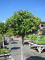 Texanum Japanese Privet (Topiary form) (Ligustrum japonicum 'Texanum (Topiary)') at Roger's Gardens