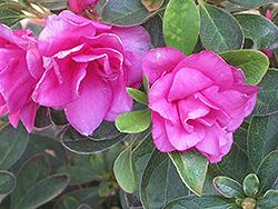 Happy Days Azalea (Rhododendron 'Happy Days') at Roger's Gardens