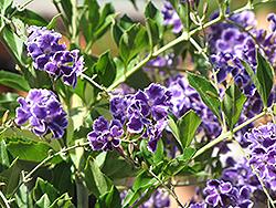 Sapphire Showers Duranta (Duranta erecta 'Sapphire Showers') at Roger's Gardens
