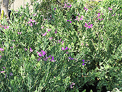 Sweet Pea Shrub (Polygala x dalmaisiana) at Roger's Gardens