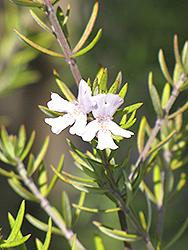 Coast Rosemary (Westringia fruticosa) at Roger's Gardens