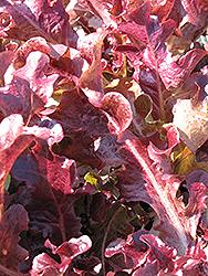 Red Oakleaf Lettuce (Lactuca sativa var. crispa 'Red Oakleaf') at Roger's Gardens