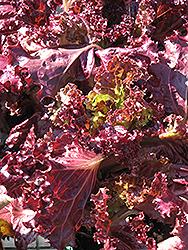 Lollo Rosso Lettuce (Lactuca sativa var. crispa 'Lollo Rosso') at Roger's Gardens