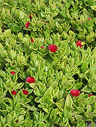 Heartleaf Iceplant (Aptenia cordifolia) at Roger's Gardens