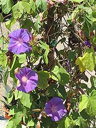 Blue Dawn Morning Glory (Ipomoea acuminata 'Blue Dawn') at Roger's Gardens
