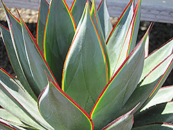 Blue Glow Agave (Agave 'Blue Glow') at Roger's Gardens