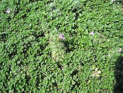 Elfin Creeping Thyme (Thymus praecox 'Elfin') at Roger's Gardens