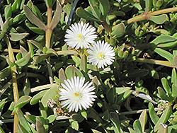 Alba Trailing Ice Plant (Delosperma congestum 'Alba') at Roger's Gardens