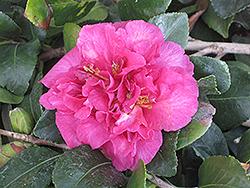 Bonanza Camellia (Camellia sasanqua 'Bonanza') at Roger's Gardens