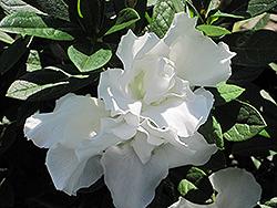 Alaska Azalea (Rhododendron 'Alaska') at Roger's Gardens