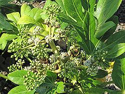 Japanese Fatsia (Fatsia japonica) at Roger's Gardens