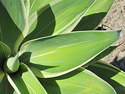 Ray of Light Fox Tail Agave (Agave attenuata 'AGAVWS') at Roger's Gardens