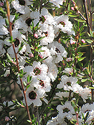 Snow Flurry Tea-Tree (Leptospermum scoparium 'Snow Flurry') at Roger's Gardens