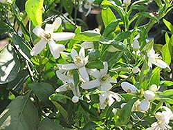 Lane Late Navel Orange (Citrus sinensis 'Lane Late') at Roger's Gardens