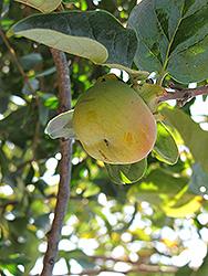 Fuyu Japanese Persimmon (Diospyros kaki 'Fuyu') at Roger's Gardens