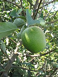 Granny Smith Apple (Malus 'Granny Smith') at Roger's Gardens