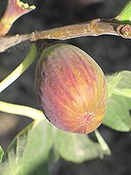Black Jack Fig (Ficus carica 'Black Jack') at Roger's Gardens