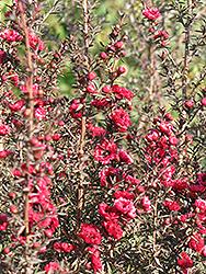 Red Damask Tea-Tree (Leptospermum scoparium 'Red Damask') at Roger's Gardens