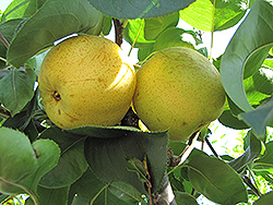 Shinseiki Asian Pear (Pyrus pyrifolia 'Shinseiki') at Roger's Gardens