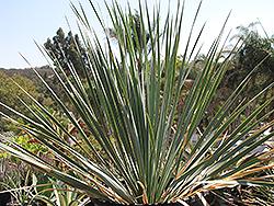 Blue Velvet Big Bend Yucca (Yucca rostrata 'Blue Velvet') at Roger's Gardens