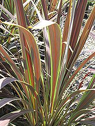 Electric Star Cordyline (Cordyline banksii 'Sprilecstar') at Roger's Gardens