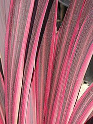 Electric Pink Cordyline (Cordyline banksii 'Sprilecpink') at Roger's Gardens