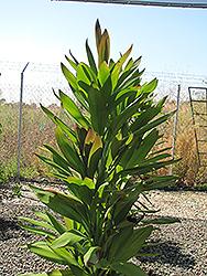 Soledad Purple Hawaiian Ti Plant (Cordyline fruticosa 'Soledad Purple') at Roger's Gardens