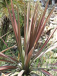 Pink Stripe Cabbage Palm (Cordyline australis 'Pink Stripe') at Roger's Gardens