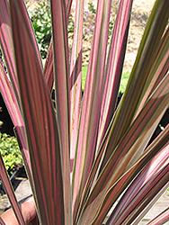 Kiwi Dazzler Cabbage Palm (Cordyline australis 'Kiwi Dazzler') at Roger's Gardens