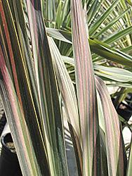 Kiwi Cabbage Palm (Cordyline australis 'Kiwi') at Roger's Gardens