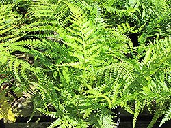 Lace Fern (Microlepia strigosa) at Roger's Gardens