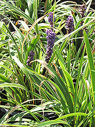 Gold Band Lily Turf (Liriope muscari 'Gold Band') at Roger's Gardens