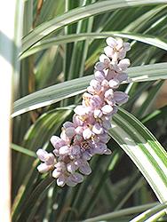 Silver Dragon Lily Turf (Liriope spicata 'Silver Dragon') at Roger's Gardens