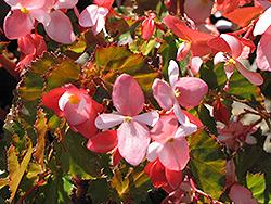 Richmond Begonia (Begonia 'Richmondensis') at Roger's Gardens